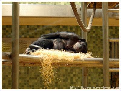 Monkey. Zoo in Berlin