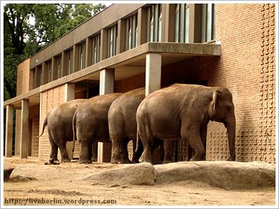 Berlin. Zoo. Elephants
