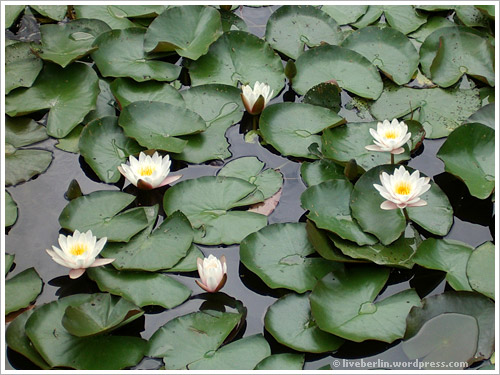 Lily of the water