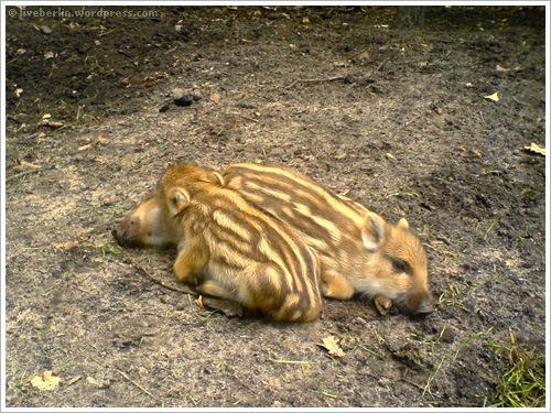 liveberlin-0074-pigs-jungfe