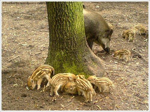 liveberlin-0075-pigs-jungfe