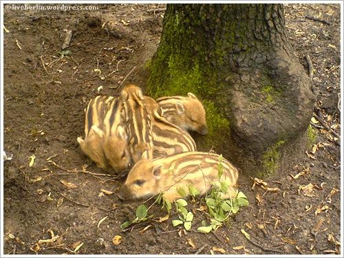 liveberlin-0076-pigs-jungfe