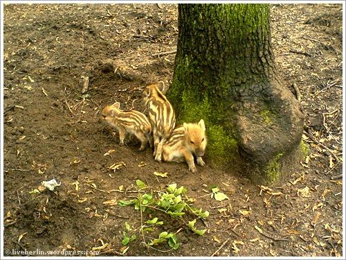liveberlin-0077-pigs-jungfe