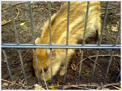 liveberlin-0078-pigs-jungfe