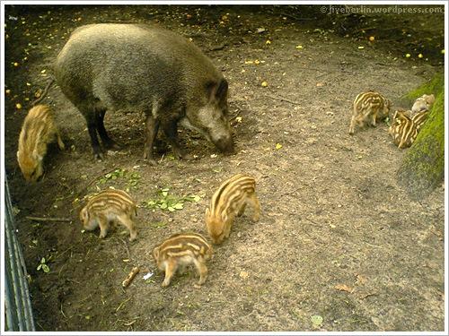liveberlin-0079-pigs-jungfe
