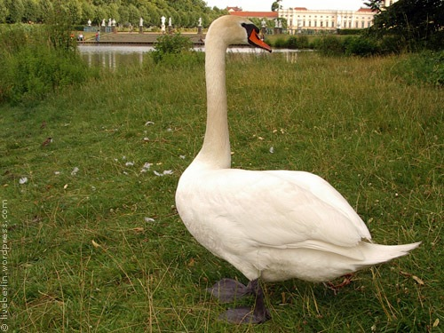 liveberlin-0129-swan