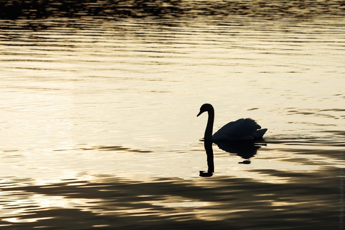 Swan on the Lake Tegel